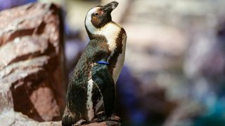 Deco, the New England Aquarium's 40-year-old African penguin