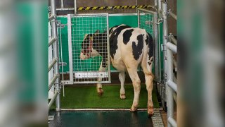 """a calf enters an astroturf-covered pen nicknamed """"MooLoo"""" to urinate"""