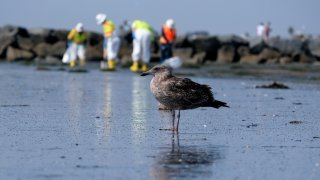 A seagull rests as workers in protective suits clean the contaminated beach after an oil spill