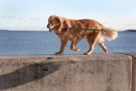 #3: Golden Retriever