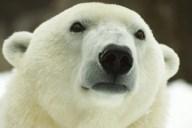 PolarBear_Coldilocks_27