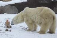 PolarBear_Coldilocks_6677