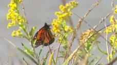 Slow Start for Monarch Watching at Cape May Point