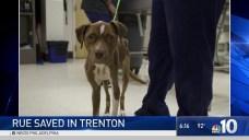 Emaciated Pit Bull Saved in Trenton