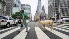 Llama or Alpaca? Philly Police Crack the Case