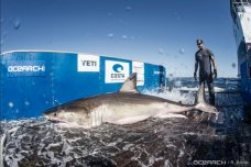 Hilton, Great White Shark, Surfaces Off NJ