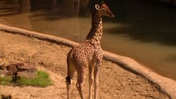 Dallas Zoo's World-Famous Giraffe Kipenzi Dies