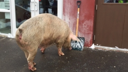 WATCH: Large Pig Shows Up at N.H. Polling Place