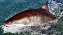Great Whites Protected Off Calif. Coast