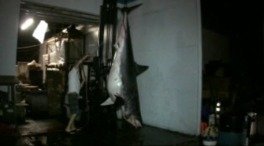 1,300 Pound Shark Caught Off California Coast