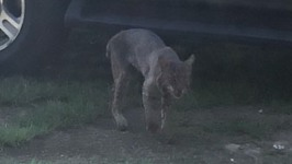 Grandmother Strangles Rabid Bobcat to Death in Front Yard