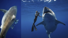 Researchers Come Face-to-Face With Huge Great White Shark
