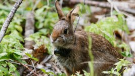New England Cottontail Makes a Comeback