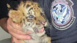Man Pleads Guilty to Smuggling Tiger Cub Into US From Mexico
