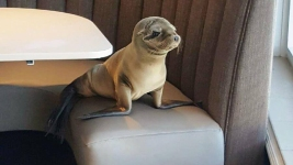 Sea Lion Pup Found in Restaurant Booth Recovering