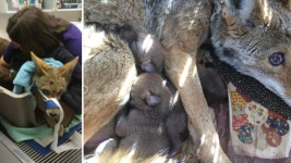 Coyote Euthanized After Being Blinded by Bullet