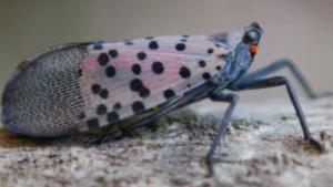 Delaware County Treats Areas for Invasive Pest