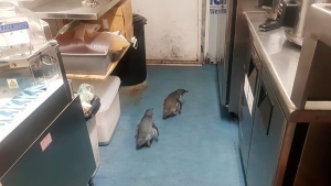 Nesting Penguins Can't Resist Lure of New Zealand Sushi Shop