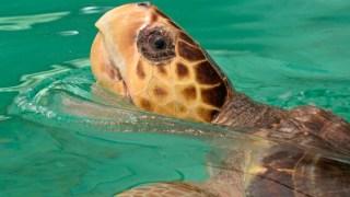 Rescued Jersey Sea Turtle Heads West