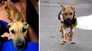 Once Skin & Bones, Rescue Dog Now Ready for Adoption