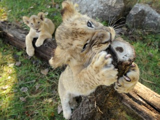 2 New Lions at the Cape May County Zoo