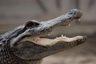 Fla. Mom, 2 Kids Die After Car Hits Alligator in S. Carolina