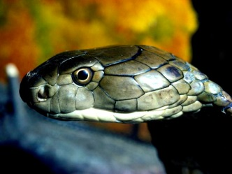 King Cobra on the Loose After Escaping Home in Orlando