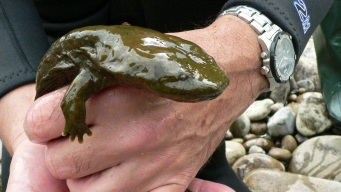 Hellbender: Pa. Could Be Getting a New State Amphibian