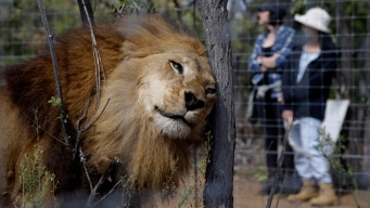 Rescued Lions Explore New Home in Sanctuary