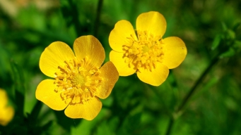 Wet Weather Increases Spread of Buttercups, Foe of Livestock