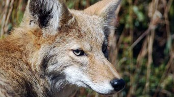 Hiker Gets Stuck in Tree After Escaping Coyotes