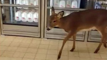 Oh Deer! Young Fawn Strolls into PA Supermarket