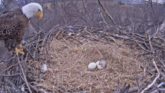 Second Eaglet Hatches, Let The Games Begin!