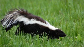 2nd Rabid Skunk in 3 Weeks Found in Allentown