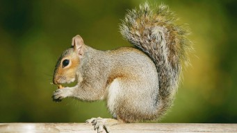 Charges Dropped Against Woman Who Nursed Baby Squirrels