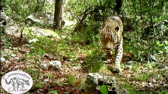 Video Shows Only Known U.S. Jaguar in Arizona