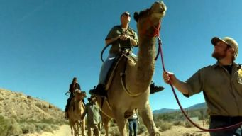 New Attraction Offers Camel Rides in Nevada