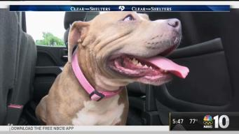 Pit Bull That Was Left to Die Gets A Second Chance at Life