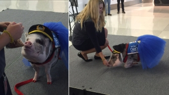 San Francisco Airport Gets Tutu-Wearing Therapy Pig