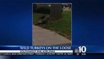 Wild Turkeys Wander Philly Neighborhoods