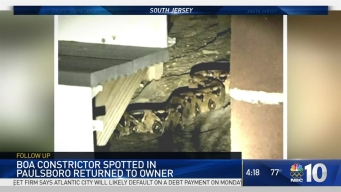 Owner Gets Escaped Boa Constrictor Back