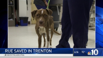 Emaciated Pit Bull Saved in Trenton