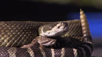 Dozens of Rattlesnakes Removed From Under Texas Home