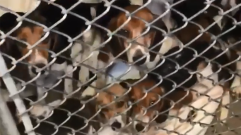 Dozens of Rescued Beagles Begin Finding New Homes