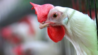 After Bird Flu Fears, Poultry Returning to State Fairs