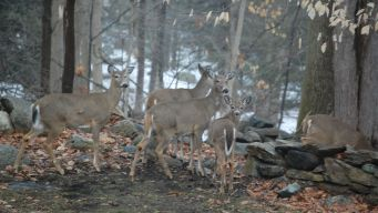Thinning the Herd: Deer Hunt Canceled in Pa Park
