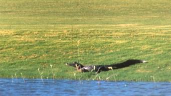 Alligator Kills Woman Walking Her Dog at S. Carolina Resort