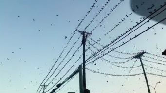 Texas Plague of Grackles Reminiscent of Hitchcock's 'The Birds'