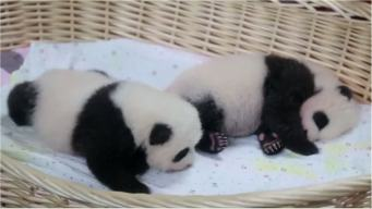Twin Pandas Make Adorable Debut in Shanghai