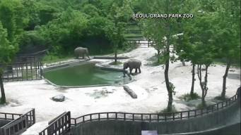 Mother, Aunt Elephants Save Baby From Drowning